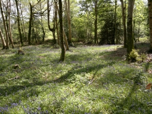 Forest with blue bells
